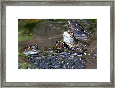 Common Frogs Mating Amongst Frogspawn Framed Print by Bob Gibbons