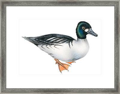 Common Goldeneye  Framed Print by Anonymous