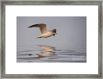 Common Gull Larus Canus In Flight Framed Print by John Edwards