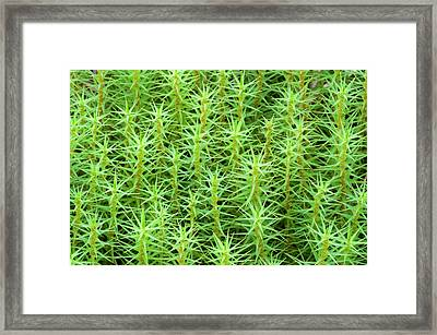 Common Hair-moss Framed Print by Nigel Downer
