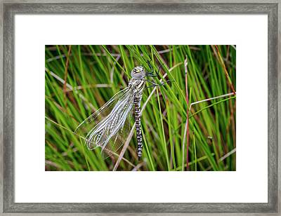 Common Hawker Dragonfly Framed Print by Paul Williams