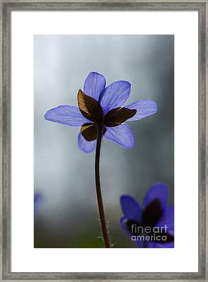 Common Hepatica Flower Framed Print by Steen Drozd Lund