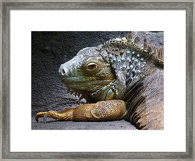 Common Iguana Relaxing Framed Print by Margaret Saheed