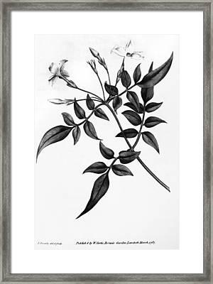 Common Jasmine, 1787 Framed Print by Granger