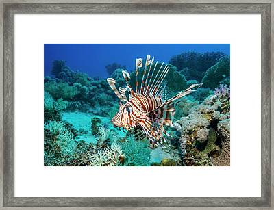 Common Lionfish Framed Print by Georgette Douwma