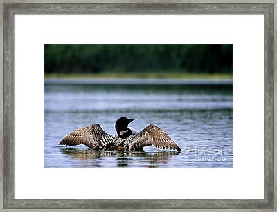 Common Loon Framed Print by Mark Newman