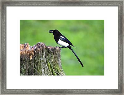 Common Magpie Framed Print by Science Photo Library