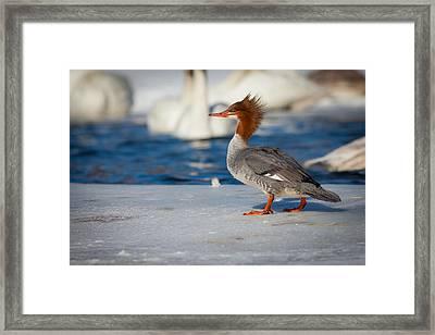 Common Merganser Framed Print by Chris Hurst