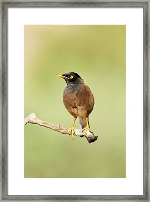 Common Myna Acridotheres Tristis Framed Print by Photostock-israel