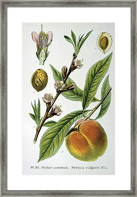 Common Peace Persica Vulgaris Framed Print by Anonymous