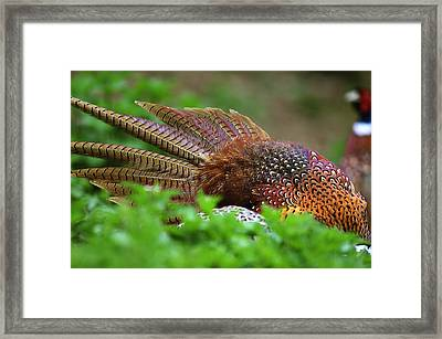 Common Pheasants Framed Print by Science Photo Library