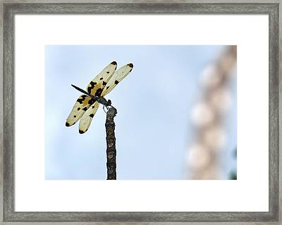 Common Picture Wing Dragonfly Framed Print by K Jayaram