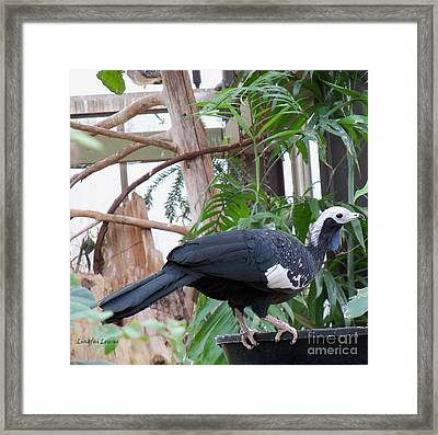 Common Piping Guan Framed Print by Lingfai Leung