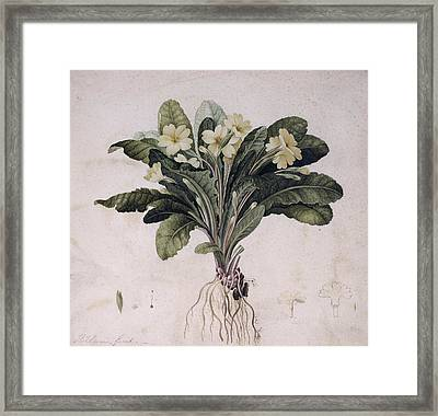 Common Primrose, Historical Artwork Framed Print by Science Photo Library