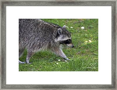 Common Raccoon Framed Print by Sharon Talson