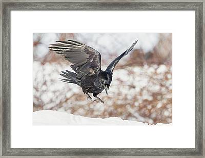 Common Raven Framed Print by Bill Wakeley
