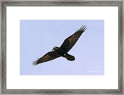 Common Raven Framed Print by Jim Zipp