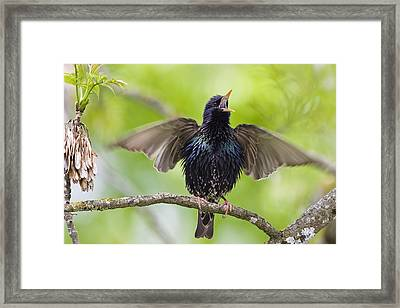 Common Starling Singing Bavaria Framed Print by Konrad Wothe