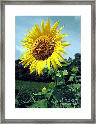 Common Sunflower Framed Print by Millard H. Sharp