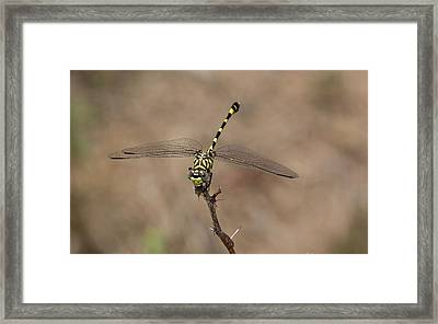 Common Tigertail Dragonfly Framed Print by Bob Gibbons