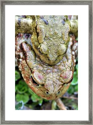 Common Toads Copulating Framed Print by Colin Varndell