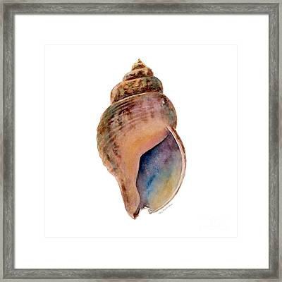 Common Whelk Shell Framed Print by Amy Kirkpatrick