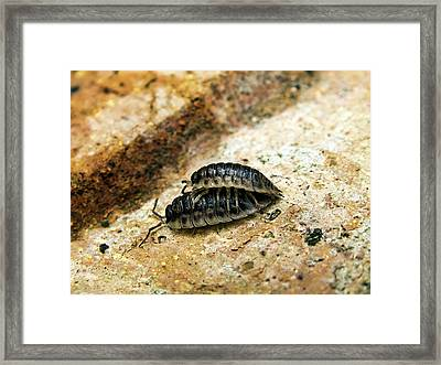 Common Woodlice Mating Framed Print by Ian Gowland