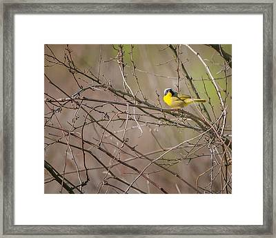 Common Yellowthroat Framed Print by Bill Wakeley