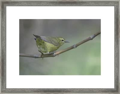 Common Yellowthroat Female Framed Print by Graham Foulkes