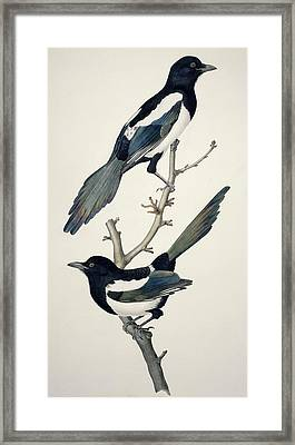 Comon Magpies,19th Century Artwork Framed Print by Science Photo Library