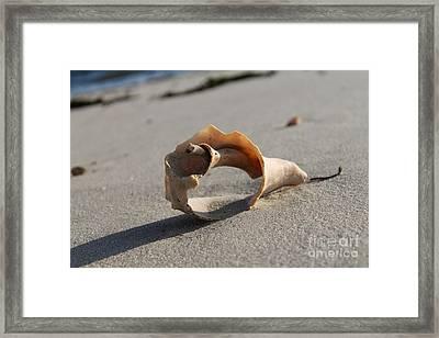 Conch On The Beach Framed Print by John Doble