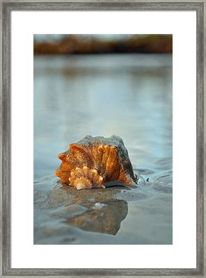 Conch Shell And Reflection On Jekyll Island's Beach Framed Print by Bruce Gourley