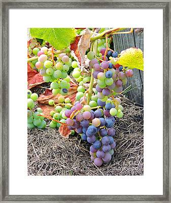 Concord Grapes Framed Print by Helene Guertin