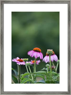 Coneflower Framed Print by Kay Pickens