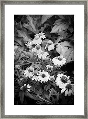 Coneflowers Echinacea Rudbeckia Bw Framed Print by Rich Franco