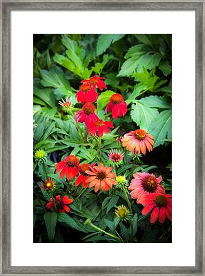 Coneflowers Echinacea Rudbeckia Framed Print by Rich Franco
