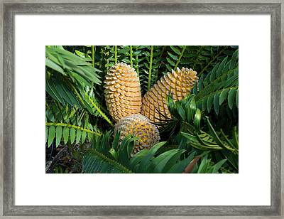 Cones Of Encephalartos Altensteinii Framed Print by Dr Jeremy Burgess
