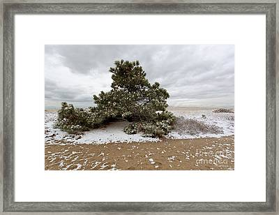 Conifer On A Snowy Cape Cod Beach Framed Print by Michelle Wiarda