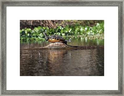 Cooter On Alligator Log Framed Print by Paul Rebmann