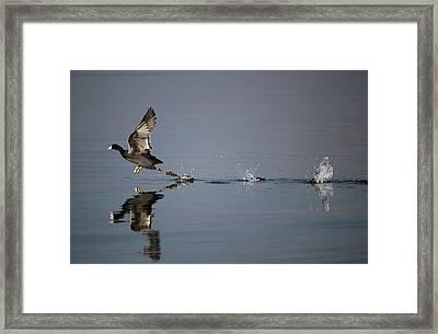 Cootskoot Framed Print by David  Jones