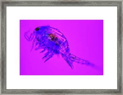 Copepod Crustacean Framed Print by Frank Fox