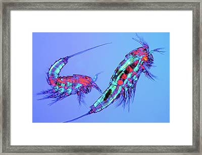 Copepods Framed Print by Marek Mis