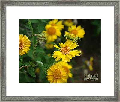 Coreopsis Bloom Framed Print by Peter Piatt