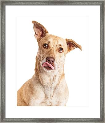 Corgi Mix Dog Licking Lips Framed Print by Susan  Schmitz