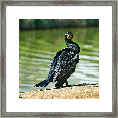Cormorant 5  Wilderness Lakes Framed Print by Bob and Nadine Johnston