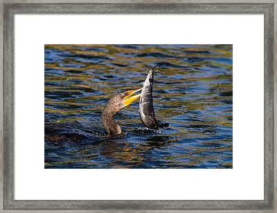 Cormorant And Its Meal Framed Print by Andres Leon