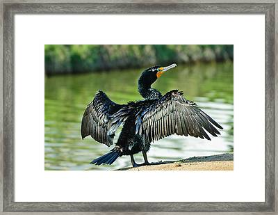 Cormorant Drying Wings Framed Print by Bob and Nadine Johnston