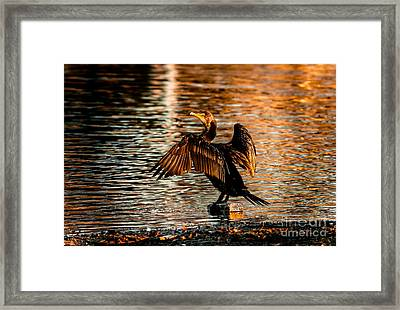 Cormorant On Gold Framed Print by Robert Frederick