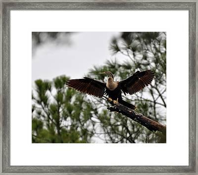 Cormorant On Jekyll Island Framed Print by Bruce Gourley