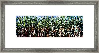 Corn Crop In A Field, Amish Country Framed Print by Panoramic Images